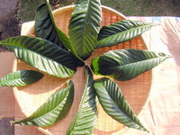 biwa_leaf.jpg